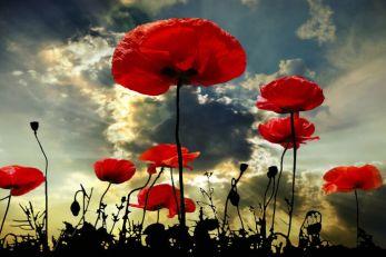 Poppy flower in the sky